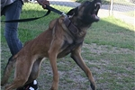 Picture of Belgian Malinois Pups