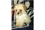 Picture of Tiny teacup male poodle!