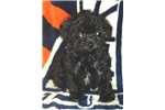 Picture of Tiny teacup male poodle