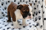 Picture of Stunning English Bulldog Beethoven