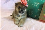 Picture of Sweet Rosie-AKC
