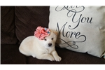 Picture of Precious Sasha-AKC Cream Female Shiba Inu