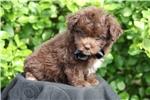 Picture of Adonis--Beautiful Chocolate Pomapoo Puppy