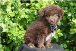 Picture of Chocolate Male Pomapoo --- AUGUST