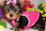 Picture of Trained AKC Health Proven  Yorkie Puppies