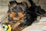 Picture of AKC YOUNG AND LOVELY YORKIE PUPPIES.