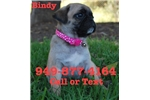 Picture of Bindy The Pug