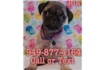 Picture of Kiwi the Pug