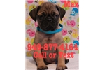 Picture of Max the Pug