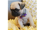 Picture of Elvis  The Pug Puppy