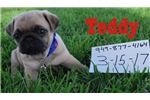 Picture of Teddy the Pug