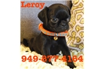 Picture of Leroy The Pug