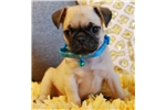 Picture of Rudy The Pug Puppy
