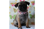 Picture of Pepper The Pug