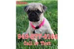 Picture of Sierra the Pug