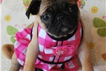 Picture of Pebbles The Pug
