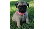 Picture of Peaches the Pug