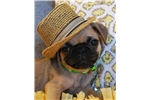 Picture of Georgie The Pug Puppy