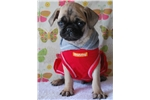 Picture of Leo The Pug