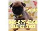 Picture of Louie the Pug