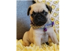 Elvis  The Pug Puppy | Puppy at 8 weeks of age for sale