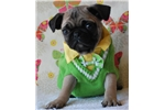 Picture of Gilbert The Pug