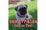Picture of Piggy the Pug