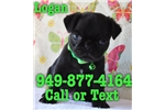 Picture of Logan the Pug