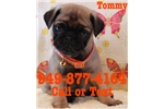Picture of Tommy the Pug