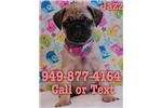 Picture of Jazz the Pug