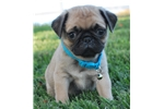 Picture of Fonzie the Pug