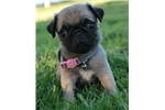 Picture of Kricket The Pug