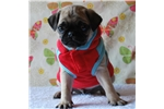 Picture of Luke The Pug