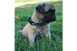 Picture of Princeton The Pug