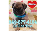 Picture of Gizmo the Pug