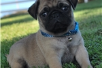 Picture of Pierre The Pug