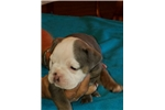 Picture of Beautiful Champion Bloodline Puppies