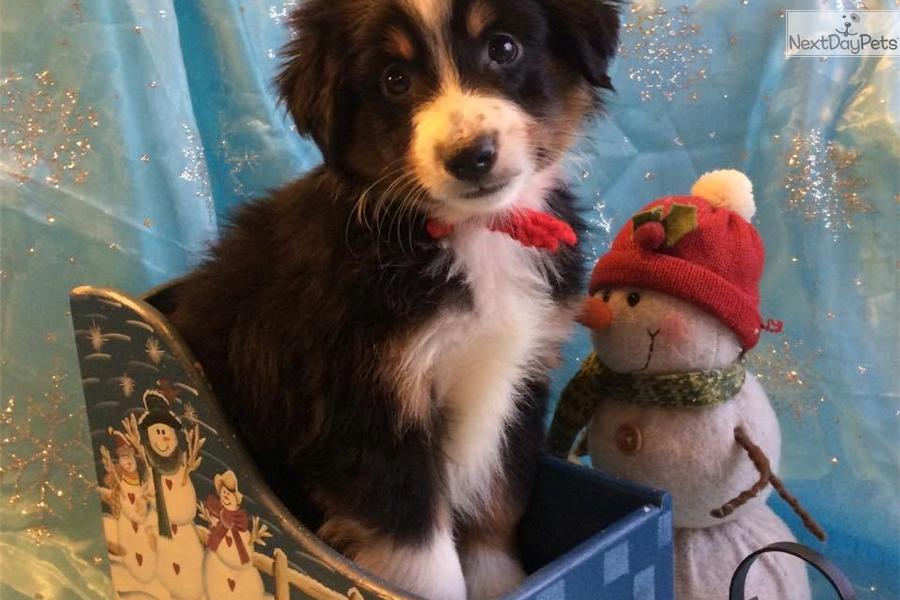 Australian shepherd puppy for sale near southeast ks kansas
