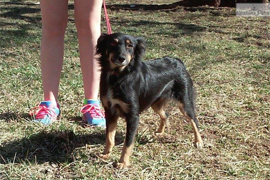 Miniature australian shepherd puppy for sale near southeast ks kansas