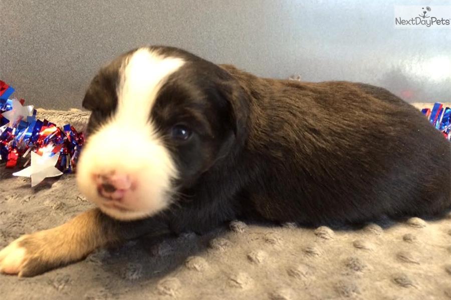 Australian shepherd puppy for sale near southeast ks kansas grcom