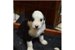 Picture of Old English Sheepdog Puppies