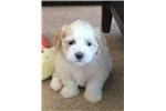 Picture of Oliver - Puppy For Sale