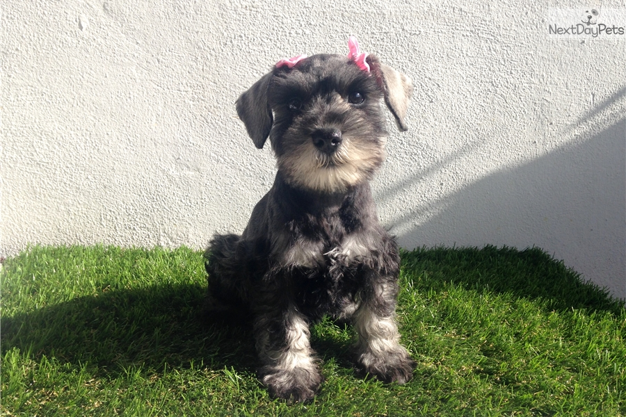 Puppies For Sale In New Zealand Yorkshire Terrier Puppies For Sale ...
