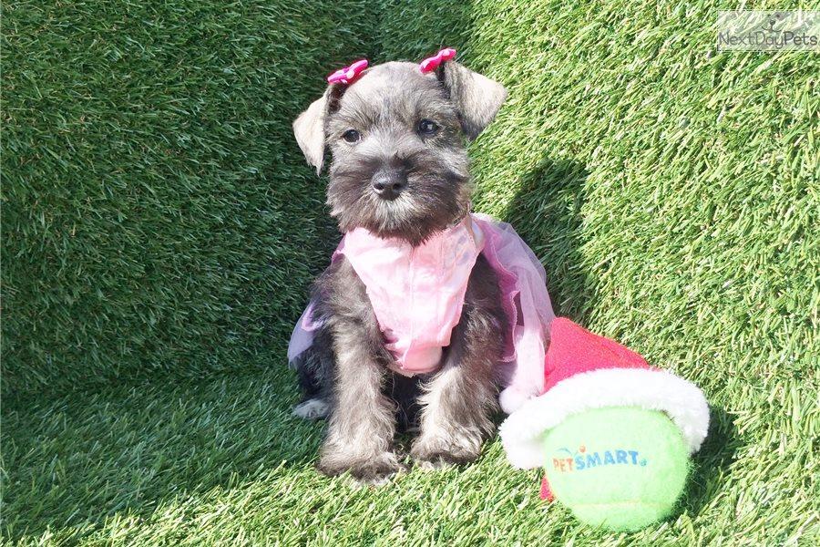 puppies  MINIATURE SCHNAUZER PUPPIES FOR SALE