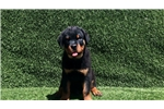 Picture of AKC Male Rottweiler Puppies Champion Bloodlines