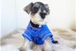 Picture of Mini Schnauzer Puppy