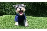 Picture of Salt and Pepper Male Mini Schnauzer Puppy