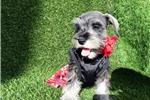 Picture of Female Mini Schnauzer Puppy