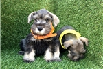 Picture of Male Mini Schnauzer Puppy