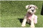 Picture of Salt and pepper Mini Schnauzer Puppy